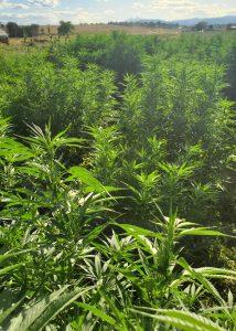 Photo of hemp field, located in Northern Colorado